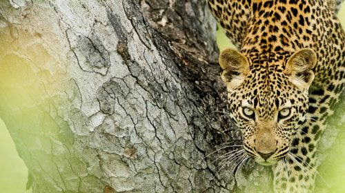 Voir les léopards en Afrique © Singita Boulders
