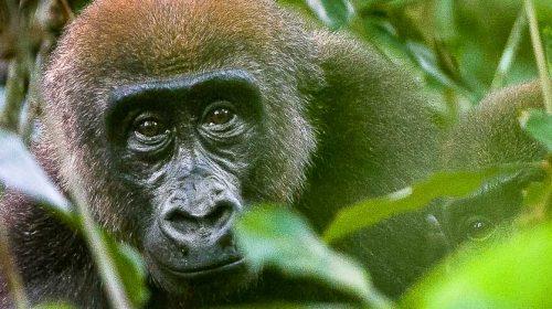 Voir les gorilles des plaines au Congo