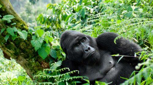 Voir les gorilles en Ouganda