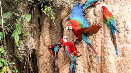 Voir des aras au Pérou