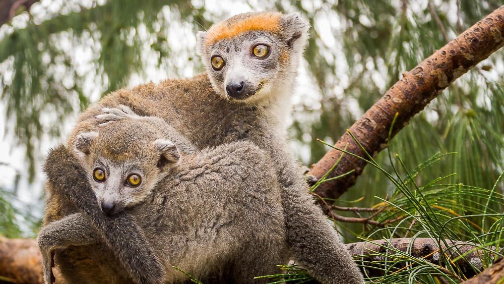 Lémur couronné, Madagascar