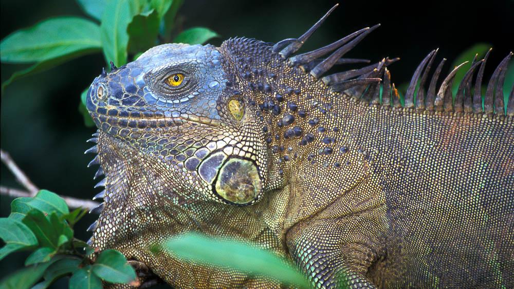 Iguane terrestre, Costa Rica